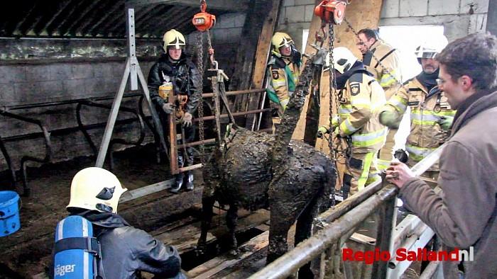 Brandweer haalt koe uit mestkelder in Heino - Foto: Pim Haarsma