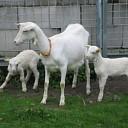 Q-koorts geconstateerd bij geitenboerderij in Overijssel
