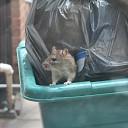 Overlast door ratten bij speeltuin in Raalte-Noord